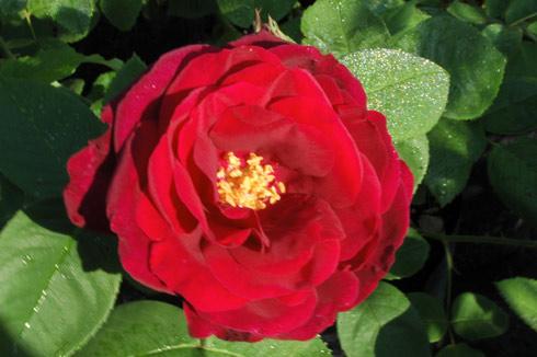 Rose du Roi - Portland Rosen