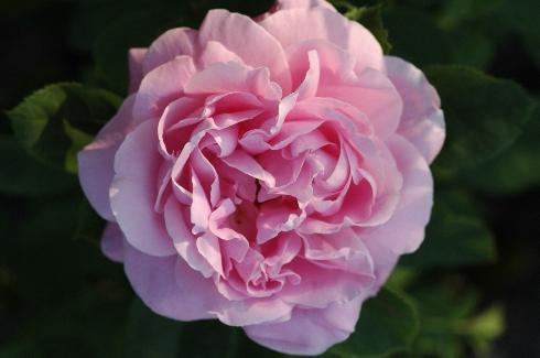 Baronne Adolphe de Rothschild - Remontant Rosen