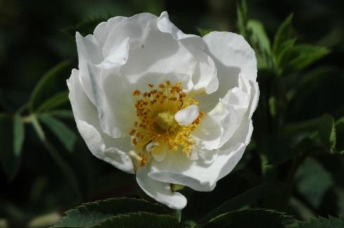 Semiplena - Rosa Alba