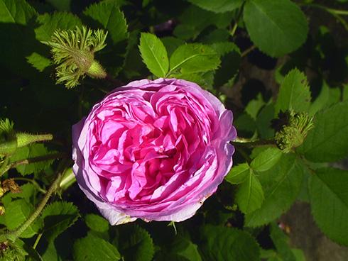 Chapeau de Napoléon (Christata) - Rosa Centifolia Muscosa