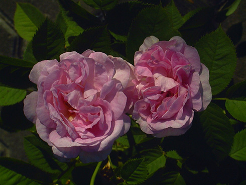 Great Maiden's Blush ('Cuisse de Nymphe') - Rosa Alba
