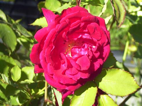 Gruß an Teplitz - Rosa Borbonica