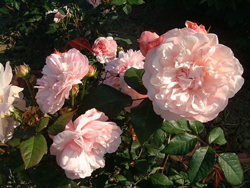 Rosa Gruß an Aachen - Polyantharosen