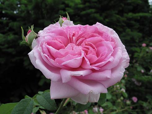 Ispahan - Rosa Damascena