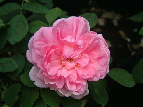 Miranda - Rosa Damascena