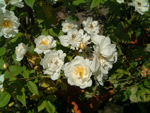 Rose Rambling Rector
