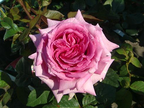 Chartreuse de Parme - Rosen von Delbard