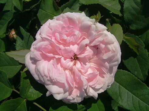 Jacques Cartier - Rosa Damascena