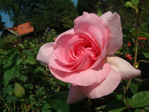 Jardins de Vilandry - Rosen von Delbard