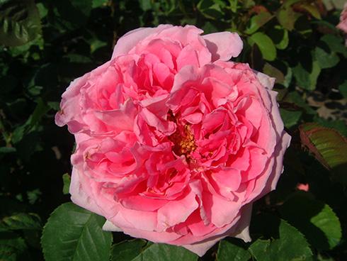 Madame Bovary - Rosen von Delbard