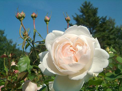Madame Figaro - Rosen von Delbard