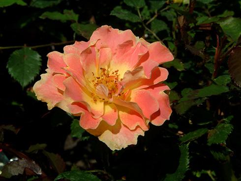 Pur Caprice - Rosen von Delbard
