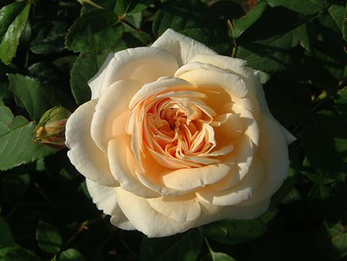 Teasing Georgia - Englische Rosen