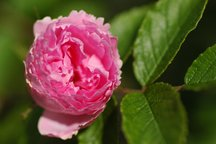 Pink Grootendorst - Rosa Rugosa