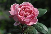 Englische Rose Brother Cadfael
