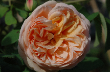 Englische Rose Charles Austin