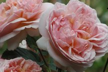 Englische Rose Evelyn