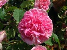 Englische Rose Gertrude Jekyll