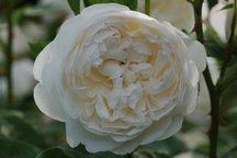 Englische Rose Glamis Castle