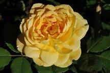 Englische Rose Golden Celebration