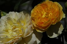 Englische Rose Molineux