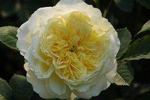 Englische Rose The Pilgrim