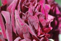 Englische Rose Tradescant