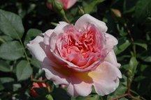 Englische Rose Anne Boleyn