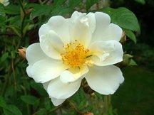 Ramblerrose Lykkefund