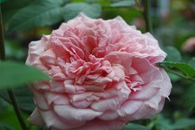 Rosa Generosa von Guillot - William Christie