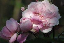 Englische Rose Mortimer Sackler