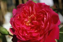 Englische Rose Benjamin Britten