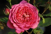Englische Rose Jubilee Celebration