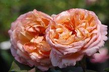 Englische Rose Lady Emma Hamilton