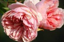 Weihrauch Rose Friedrich Chrysander