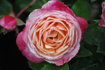 Weihrauch Rose Elric von Melniboné
