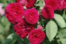 Ramblerrose Chevy Chase