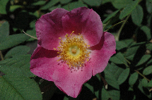 Wildrose Rosa macrophylla 'Glaucescens'