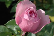 Weihrauch Rose Blue Elric