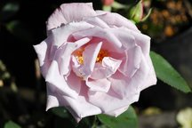 Delbardrose La Rose du Petit Prince