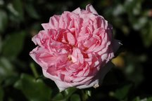 Delbardrose La Rose de Molinard