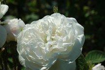 Damaszener Rose Mme. Hardy