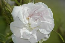 Damaszener Rose Quatre Saisons Blanc Mousseux
