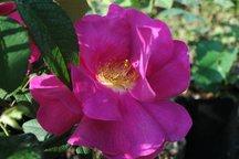 Gallicarose Officinalis ('Apothekerrose')