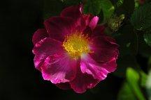 Gallicarose Violacea ('La Belle Sultane')