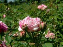 Bourbonrose Honorine de Brabant