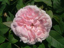 Damaszener Rose Jacques Cartier