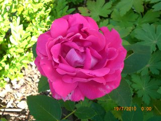Rose American Beauty
