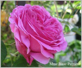 Rose Mme. Isaak Pereire