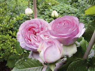 Rose Pierre de Ronsard ('Eden Rose 85')